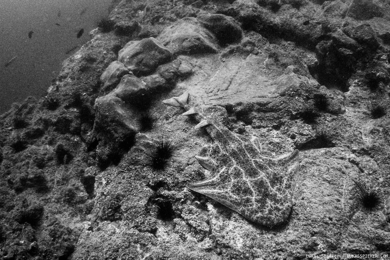 An Angel Shark (Squatina squatina) lies at the rocky ground in Fuerteventura. Angel Sharks were common in the Northeast Atlantic and Mediterranean, but commercial fishing has decimated the population via bycatch. Angel Sharks are a now critically endangered species. The Canary Islands are home to almost all of the remaining Angel Sharks population.