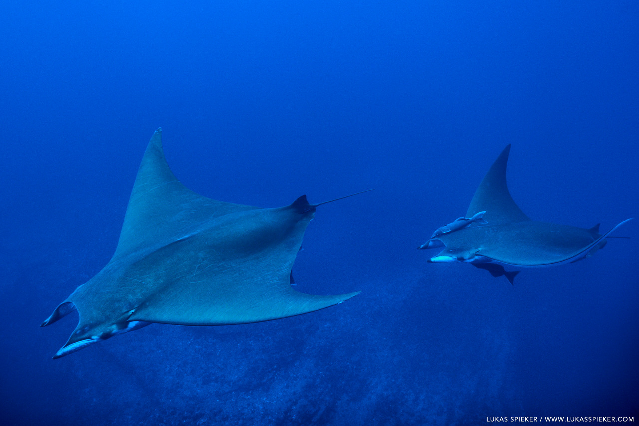 Manta Ray, or Mobula tarapacana, glide through the Atlantic at Princess Alice Bank, Azores. Princess Alice Bank is a volcanic seamount on the Mid-Atlantic Ridge rising frommore than two thousand metres to a depth of around 40 metres below the ocean surface.