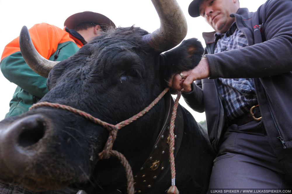 A breeder prepares his cow for the fight at the National Herens Cow Festival on May 6, 2012 in Aproz in the Alpine Canton of Valais, Switzerland.