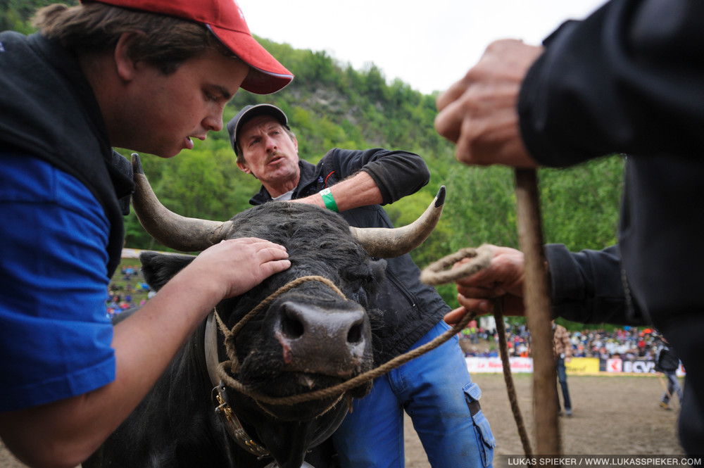 A breeder examines his cow for injuries after a fight at the battle for the Queen of Cows at the National Herens Cow Festival on May 6, 2012 in Aproz in the Alpine Canton of Valais, Switzerland.
