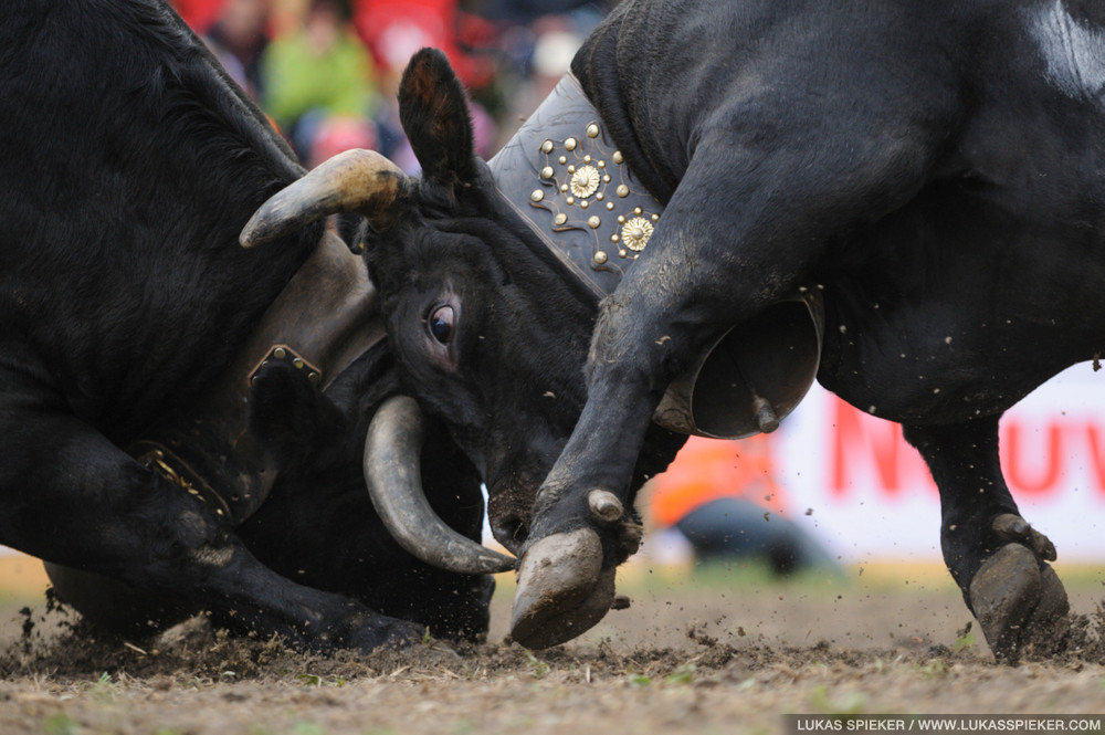 Cows fight for the title of the Queen of Cows Combat at the National Herens Cow Festival on May 6, 2012 in Aproz in the Alpine Canton of Valais, Switzerland.