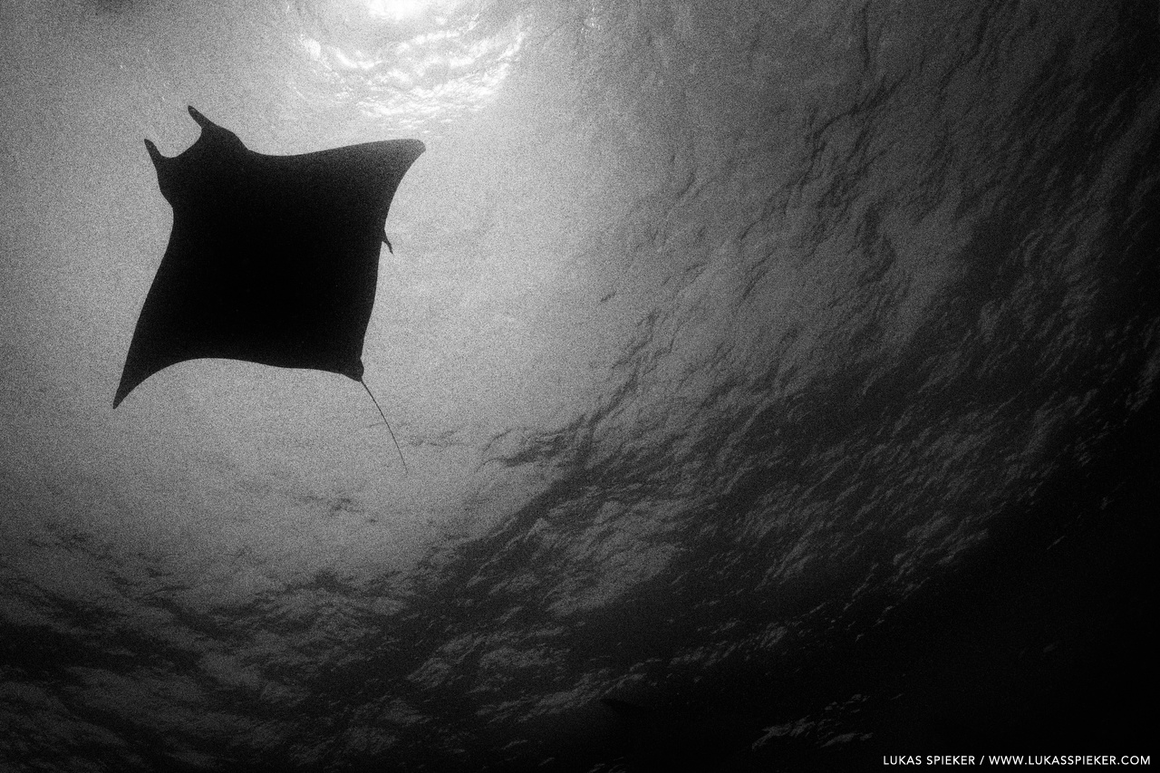 A devil ray (Mobula tarapacana) glides through the Atlantic at Princess Alice Bank, Azores. The name devil ray reflects the appearance of the fins on the head. Former scientific names included vampyrus, daemomanta, and diabolichthys. They were seen as diabolic creatures.