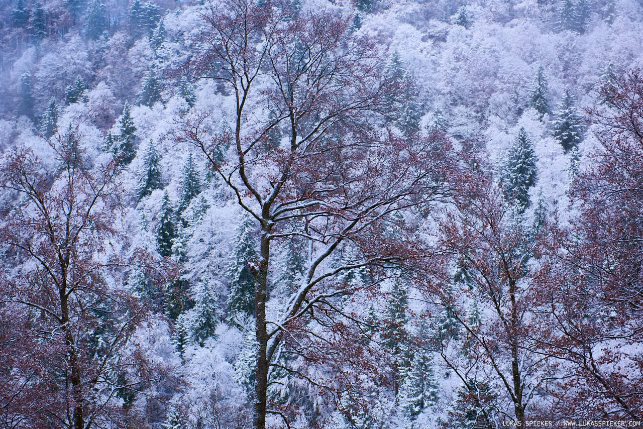Snow covers trees in Switzerland's Jura mountains November 6, 2016.