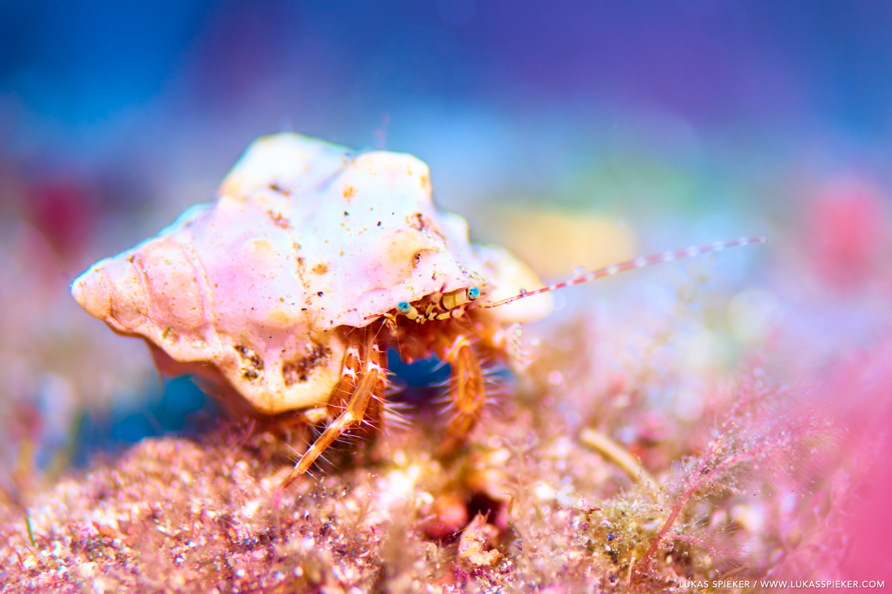 A hermit crab carries the shell of a sea snail.