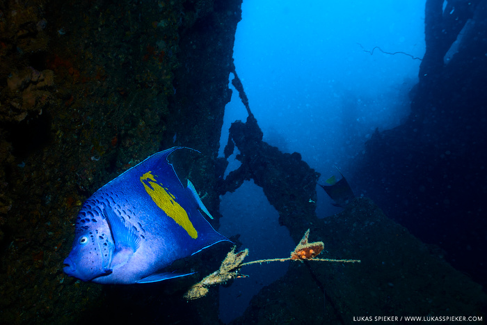 An Arabian angelfish (Pomacanthus asfur) swims af the wreck of the French cargoship Le Faon sunken 1970 after a machine room explosion near the Moucha island, Djibouti.