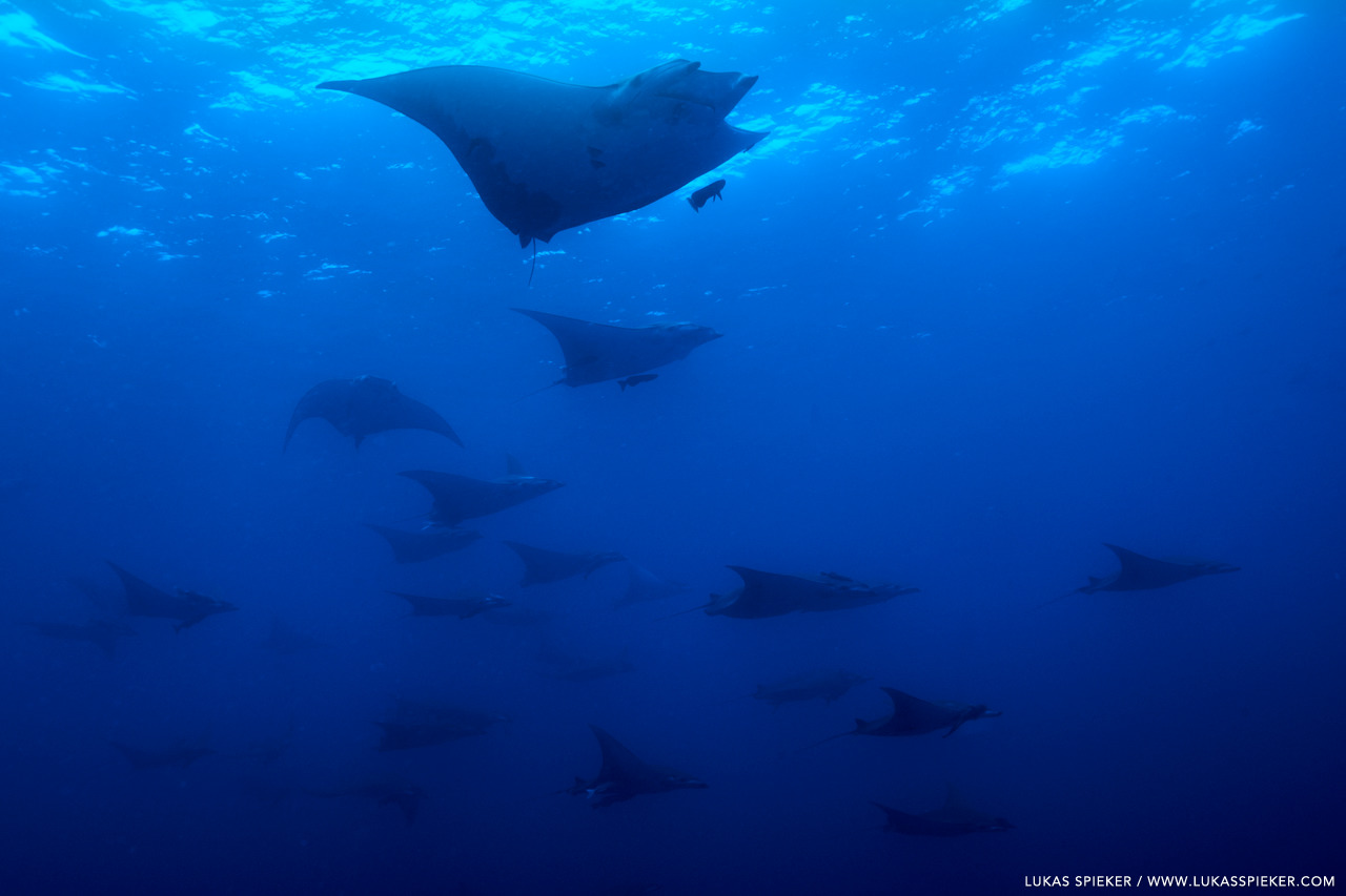 Manta Ray, or Mobula tarapacana, glide through the Atlantic at Princess Alice Bank, Azores. Princess Alice Bank is a volcanic seamount on the Mid-Atlantic Ridge rising from more than two thousand metres to a depth of around 40 metres below the ocean surface.
