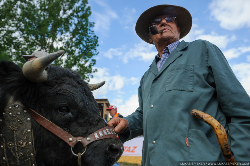 A breeder with his cow wait for the fight at the Battle of the Queens cow fights on May 6, 2012 in Aproz, Switzerland.